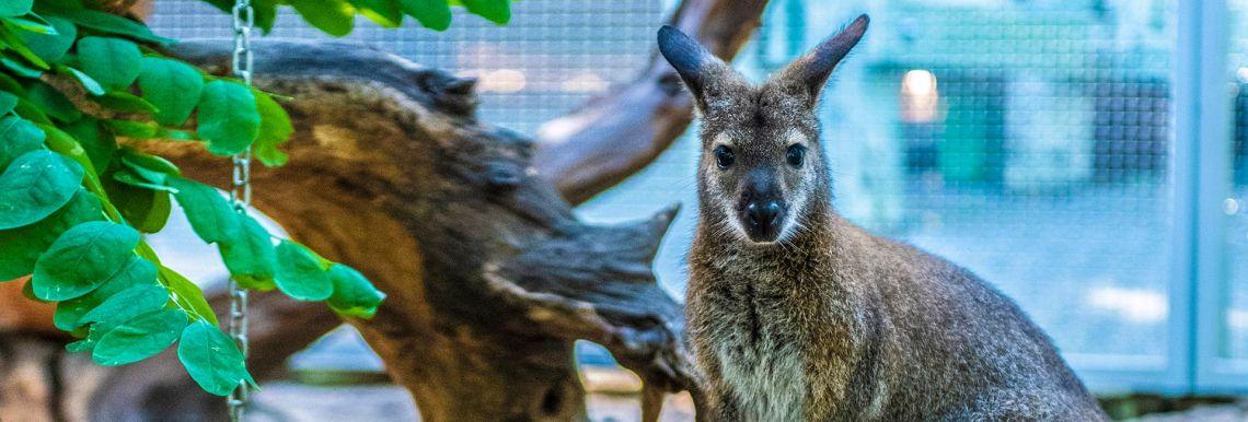Törpe kenguruk a Bükki Rejtély parkban - Varázslatos Bambara Hotel**** Felsőtárkány