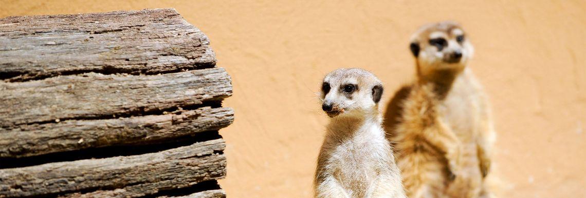 Adopted meerkats and wallaby - Varázslatos Bambara Hotel**** Felsőtárkány